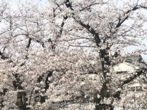 壇渓橋に咲いていた桜